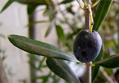 2008-11-25-olive.jpg