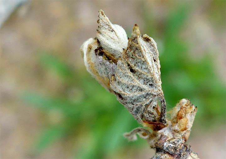 2017-04-26 Beiauge treibt nach Frost aus