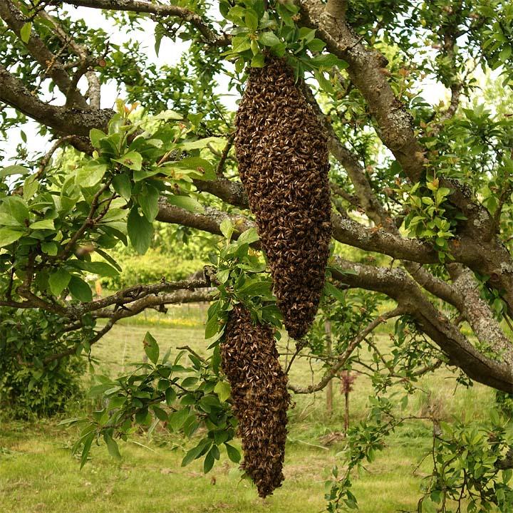 Ausgeschwärmte Bienen im Obstbaum